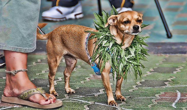 Pet Owners Turning to Marijuana