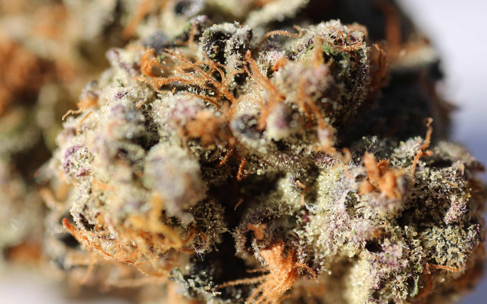 5 Reasons Why People Enjoy The Cannabis Strain Girl Scout Cookies