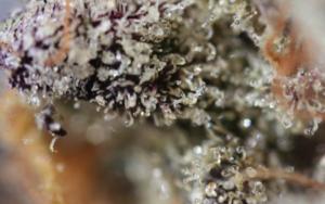 marijuana strain girl scout cookies