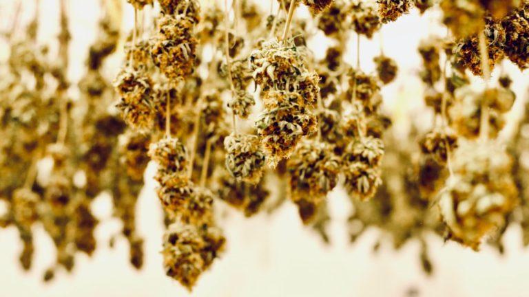 cannabis in arizona