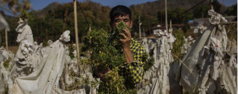 medical marijuana in thailand