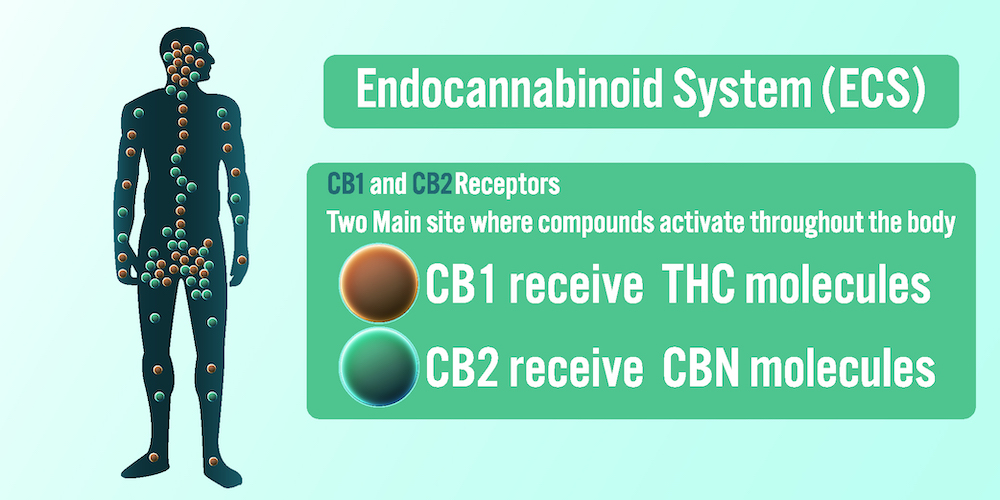 The Endocannabinoid System (ECS) background.Vector illustration