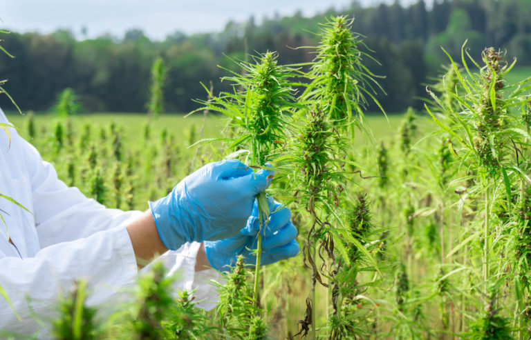 cannabis field research