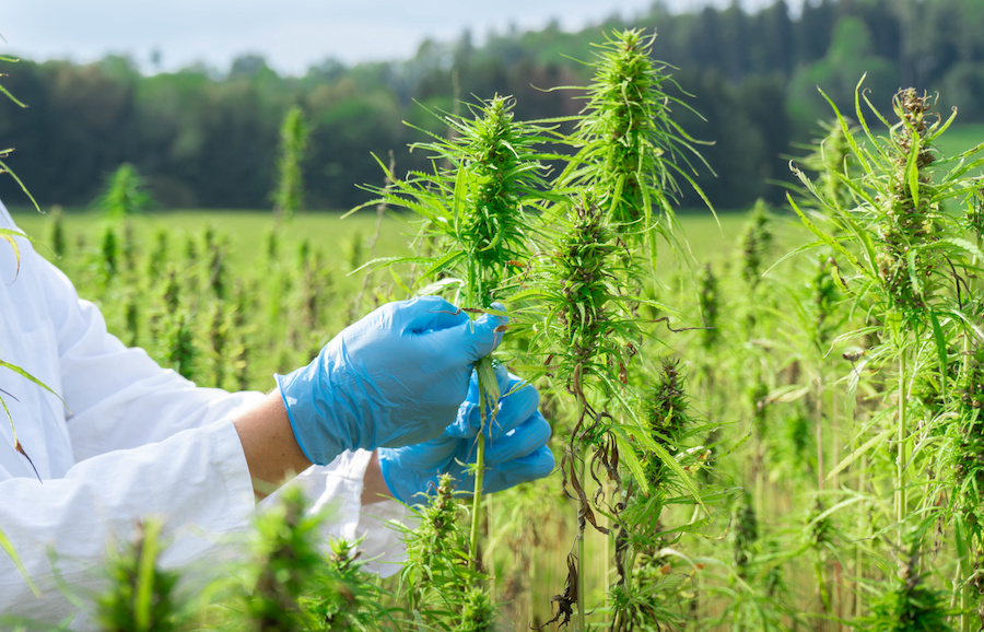 DEA Proposes an Elevated Increase in Cannabis Grown for Research
