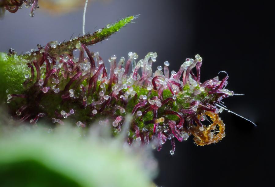 Trichomes: The Key That Controls Cannabis Potency