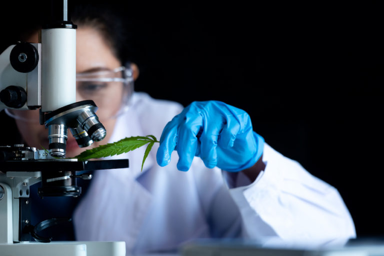 scientist studying cannabis